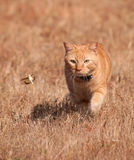 Orange tabby cat hunting a grasshopper in flight Royalty Free Stock Photo