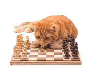 Orange tabby cat inspecting a chess piece closely. Isolated on white Royalty Free Stock Image