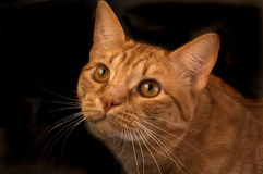 Orange tabby cat isloated. Curious orange tabby cat isolated agianst a black background Royalty Free Stock Photos