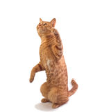 Orange tabby cat isloated. A well fed orange tabby tom cat stands while playing, isolated against white royalty free stock images