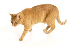 Orange Tabby Cat. Isolated on white background with reflection Stock Photography