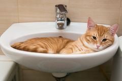 Orange tabby cat in laver Royalty Free Stock Photography