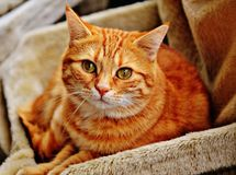 Orange Tabby Cat Laying on Brown Sofa Stock Photos