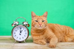Orange Tabby cat laying next to alarm clock daylight savings. Orange ginger tabby cat laying on a wood table looking at viewer, green background next to an old Royalty Free Stock Photo