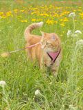 Orange tabby cat on leash in tall grass. Looking to the left of the viewer attentively Royalty Free Stock Images