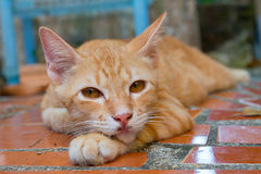 Orange Tabby Cat. A little orange tabby cat, awakened from his nap, looking at the camera stock photography