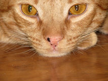Orange Tabby Cat Royalty Free Stock Photography