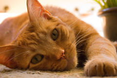 Orange tabby cat lounging on the floor royalty free stock image