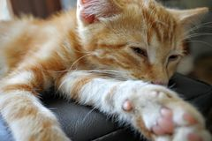 Orange Tabby Cat Lying on Black Textile Stock Photography