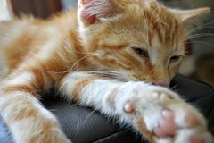 Orange Tabby Cat Lying on Black Textile Stock Photos