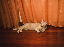 Orange tabby cat lying Stock Image