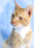 Orange Tabby Cat Morris. Orange Tabby Cat Studio Adoption Portrait Animal Shelter Humane Society stock photos