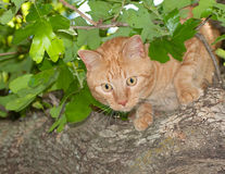 Orange tabby cat peeking through leaves Royalty Free Stock Photos