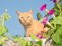 Orange tabby cat peeking out from middle of flowers Royalty Free Stock Photography
