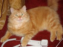 Orange tabby cat and a phone. Close-up of an orange tabby cat and a white phone Royalty Free Stock Image