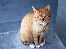 Orange Tabby Cat With Pink Leash Stock Images