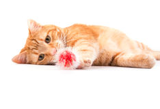 Orange tabby cat playing with a red fuzzy ball Royalty Free Stock Image