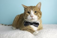 Orange Tabby Cat Portrait in Studio and Wearing a Bow Tie. Orange Tabby Cat Portrait in Studio on a Blue Background and Wearing a Bow Tie Lying Down stock images