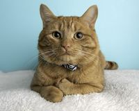 Orange Tabby Cat Portrait in Studio and Wearing a Bow Tie. Lying Down Looking Towards the Left royalty free stock photography