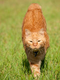 Orange tabby cat running Stock Photography