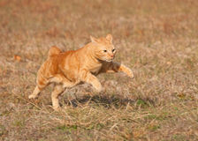 Orange tabby cat running across a grass field Royalty Free Stock Images
