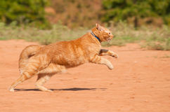 Orange tabby cat running across red sand. In full speed Stock Images