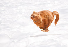 Orange tabby cat running across snow Royalty Free Stock Image