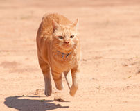 Orange tabby cat running full speed Royalty Free Stock Photo