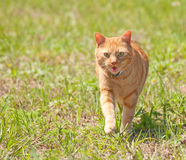 Orange tabby cat running towards viewer Royalty Free Stock Photo