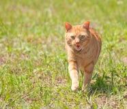 Orange tabby cat running towards viewer royalty free stock photo