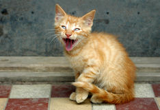 Orange tabby cat screaming. An orange tabby cat with mouth wide open, yawning or screaming stock image