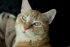 Orange Tabby Cat. Senior orange tabby cat with green eyes and dark background Royalty Free Stock Images