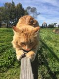 Orange tabby cat sharpening claws on wooden fence. Beautiful spring photo mainecoon feline green grass blue sky rural farm ranch animal instinct Paso Robles Stock Photo
