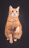 Orange tabby cat sitting against dark gray background Stock Image