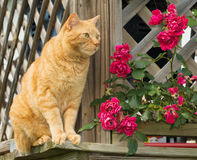 Orange tabby cat sitting on the outside of a wooden lattice railing. With roses Royalty Free Stock Images