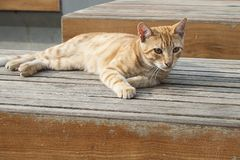 Orange tabby cat. Laying on wooden bench Stock Image