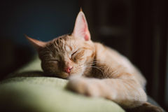 Orange tabby cat sleeping on a couch at home Royalty Free Stock Image