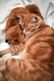Orange Tabby Cat Sleeping Stock Photos