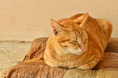 Orange tabby cat sleepy on brown old cushion at home Royalty Free Stock Image
