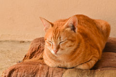 Orange tabby cat sleepy on brown old cushion at home Stock Photo