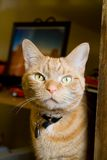Orange Tabby Cat Stare. While Sitting Up stock photography