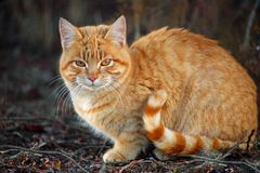 Orange tabby cat with striped tail sitting outside in the garden. Orange tabby cat with striped tail sitting crouched outside in the garden stock images