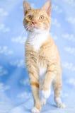 Orange Tabby Cat. Studio Adoption Portrait Animal Shelter Humane Society stock images