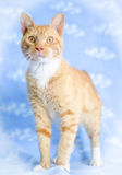 Orange Tabby Cat. Studio Adoption Portrait Animal Shelter Humane Society stock photo