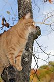 Orange Tabby Cat in Tree. A colorful orange tabby cat in a tree looking out, fall colors in the background royalty free stock image
