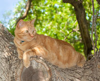 Orange tabby cat up in a tree Royalty Free Stock Photo