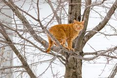 Orange Tabby Cat Up a Tree. Beautiful orange tabby carefully eyes the viewer from his secure perch in a winter tree Stock Image