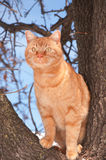 Orange tabby cat up in a tree looking. To the left with curiosity Royalty Free Stock Image