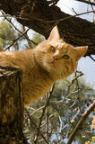 Orange tabby cat watching. Orange tabby cat peering down from a tree Stock Photography