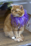 Orange Tabby Cat Wearing a Purple Sequined Collar Royalty Free Stock Photos